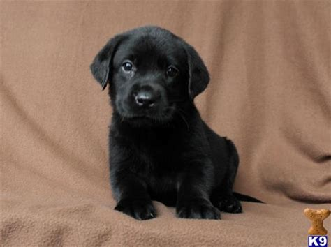 black lab puppies for sale mn labrador retriever puppies for sale in minnesota