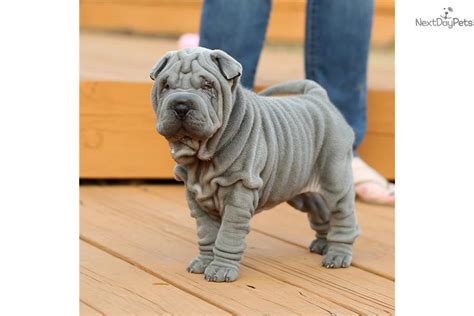 shar pei puppies for sale in pa mini shar pei for sale in pa breeds picture