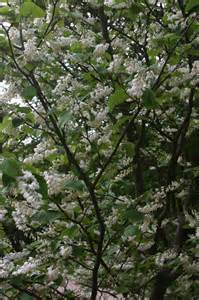 fragrant white flowering trees www imgkid com the