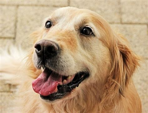 couch potato dog breeds things to consider before selecting a dog petslady com