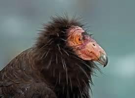 Big Red Barn Cornell California Condor Life History All About Birds Cornell