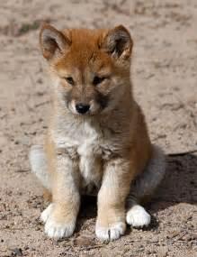dingo puppy american dingo rescue breeds picture