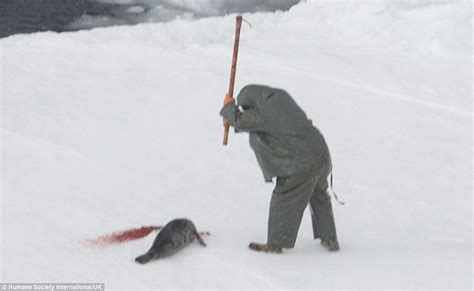 baby seal cub baby seals clubbed to on canada s floes as cull