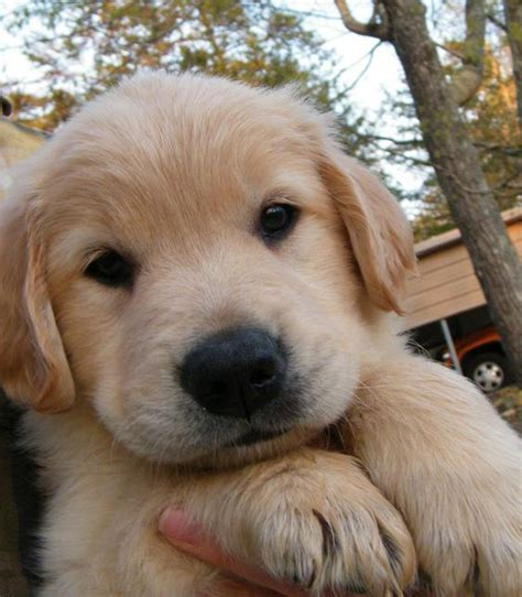 atlanta golden retriever puppies barbsgoldens akc golden retriever puppies for sale