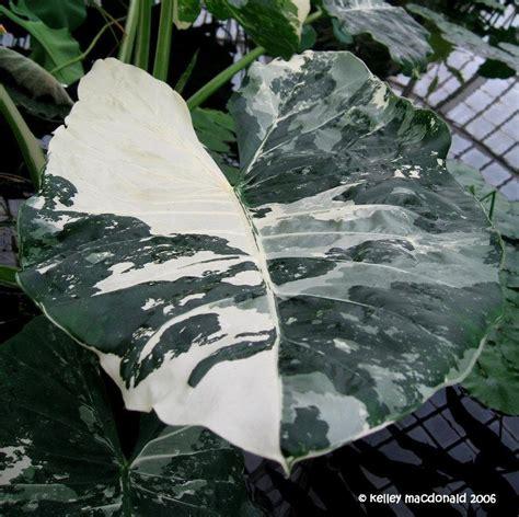 plantfiles pictures variegated upright elephant ear giant taro wild taro variegata