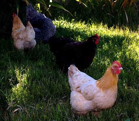 Backyard Chickens For Beginners by See Why U Need To Start Rearing Chickens Around Your Home