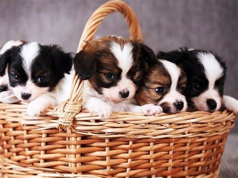 tucson puppies puppies for sale puppy stores in and tucson arizona puppies