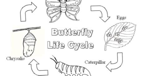 caterpillar egg coloring page butterfly life cycle printable butterflies pinterest