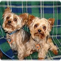 united yorkie rescue florida leesburg fl yorkie terrier meet cocoa a for adoption