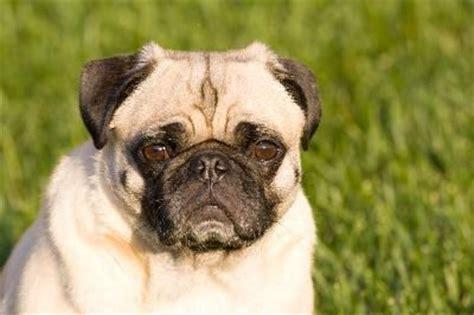 perro pug mini informaci 243 n sobre el pug zu un perro de raza mixta perrospedia