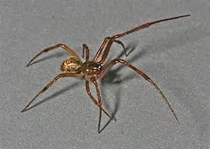 common house spider from oc parasteatoda tepidariorum
