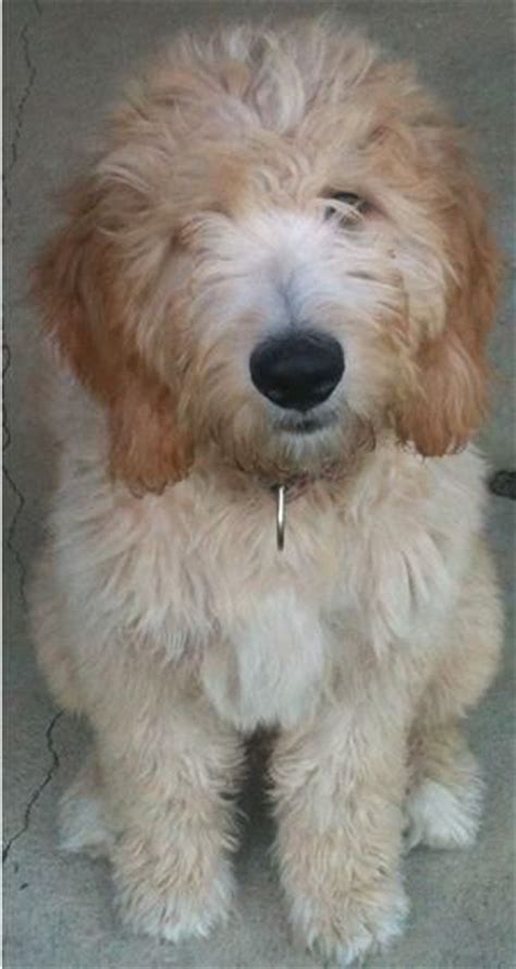 golden retriever crossed with poodle best 25 standard goldendoodle ideas on