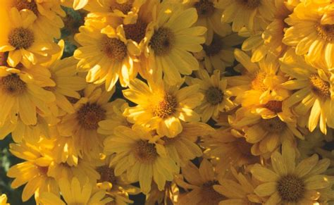 Teh Bunga open minda khasiat bunga kekwa