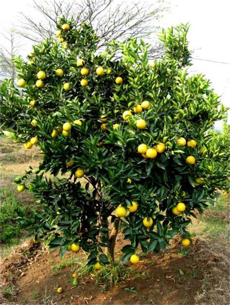 Benih Terong Apel kpri citrus pusat pesanan benih jeruk indonesia page 4