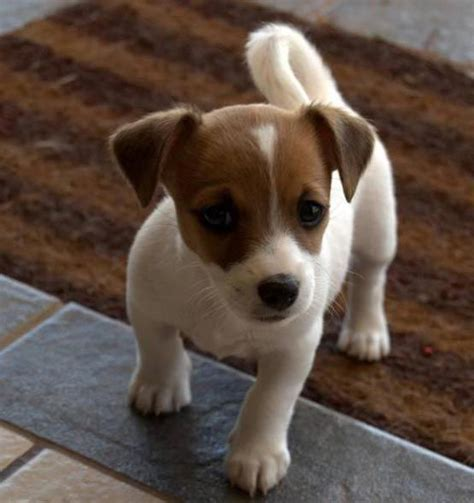 what small dog breed is this give me the puppy farm pinterest terrier puppies jack