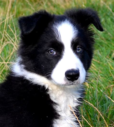 border collie puppies border collies border collie puppies for sale border collie info u k