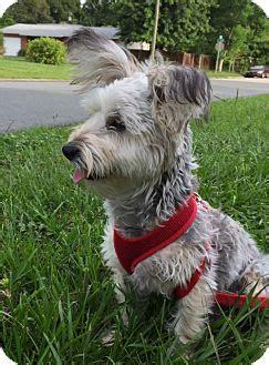 yorkie puppies st petersburg fl yorkie terrier poodle miniature mix puppy for adoption in st petersburg