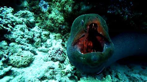 electric eel giant eel attack