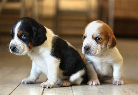 animale de rasa 9 lucruri interesante despre cainii din rasa beagle