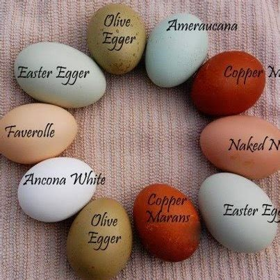 how to color eggs eggs names and colors chickens chicken egg colors