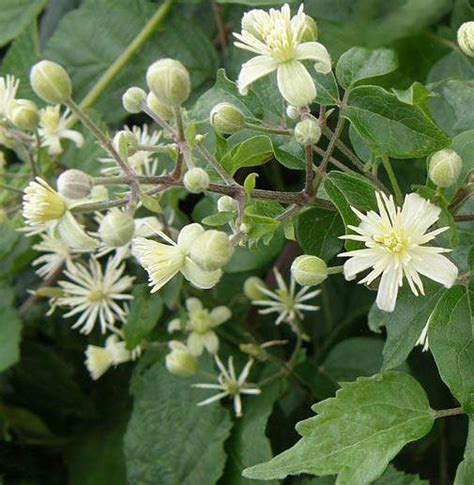 clematis fiore di bach clematis clematis vitalba fiore di bach skogsklematis