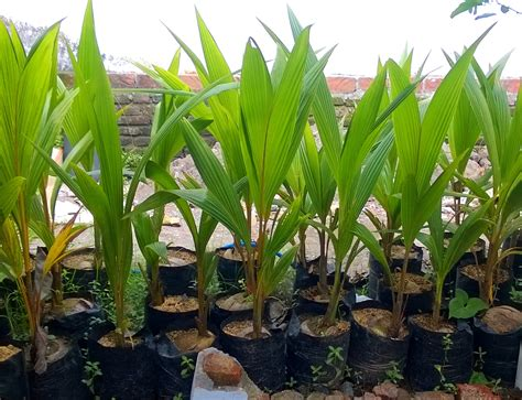 Harga Bibit Kelapa Hibrida Di Lung harga bibit kelapa hibrida di tanjungbalai www