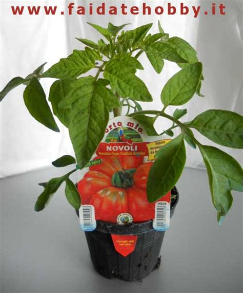 pomodoro in vaso cura dei pomodori