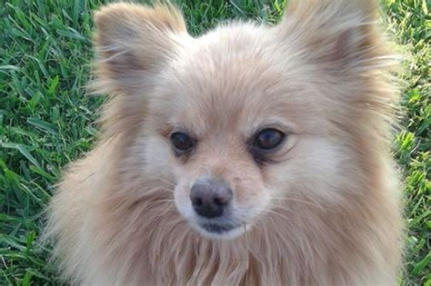 what causes seizures in pomeranians fundraiser by donna berthold help benny pomeranian seizures