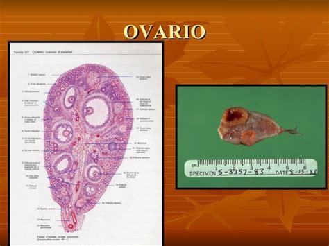 vestibulo anatomia femenina 02 anatom 237 a genital femenina