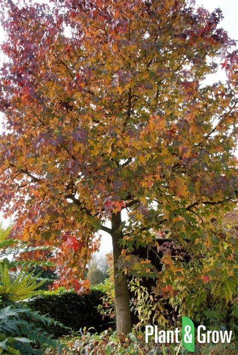 amberboom kopen liquidambar styraciflua amberboom kopen plant grow