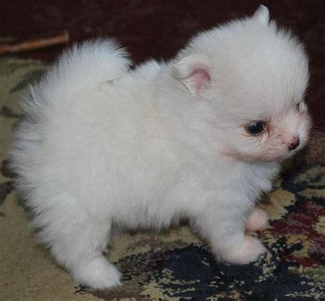 mini pomeranian puppies for sale uk pomeranian puppies available for homes pets for sale uk pet breeds picture