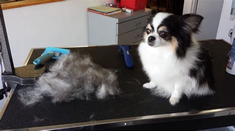 How To Stop Chihuahua From Shedding by Haired Chihuahua De Shedding Yelp