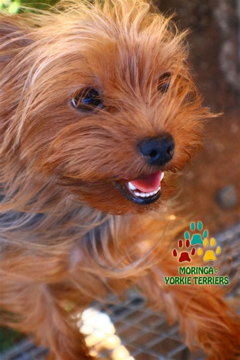 yorkie tips about yorkie health tips yorkie puppies for sale teacup dogs moringa for dogs