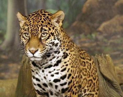 imagenes de jaguar animal picture 8 of 11 jaguar panthera onca pictures images