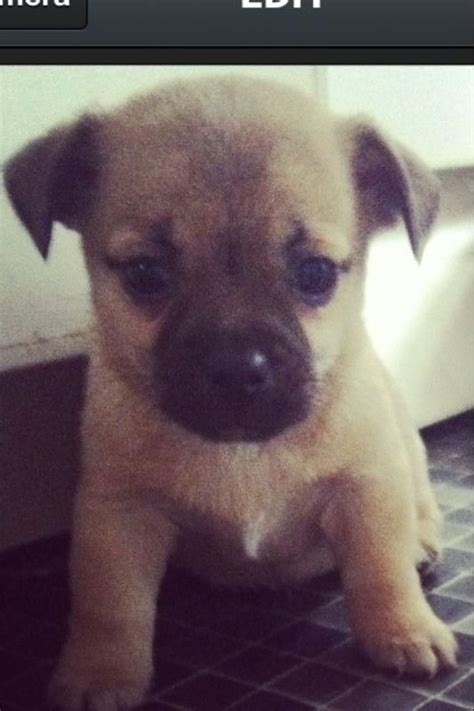 pugs queensland jug puppies russel x pug for sale in federal queensland breeds picture