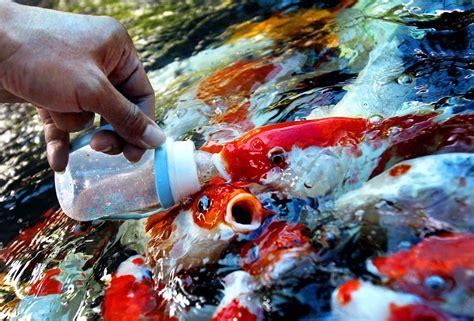 Pakan Ikan Hias Koi cara membuat pakan ikan lele agar cepat besar 187 jempolkaki