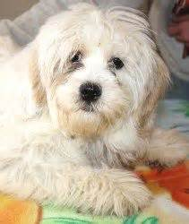 woodland havanese puppies shirley in woodland ca a havanese lhasa apso mix she has been