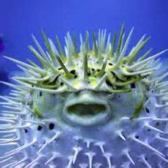 anemone enemy spotted 43 best puffers cowfish boxfish images on pinterest