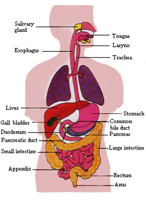 human digestive system diagram unit 6 anatomy and physiology notebook