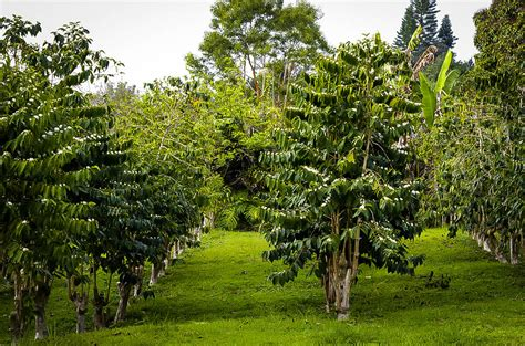Coffee Tree arabica coffee plant for sale the tree center
