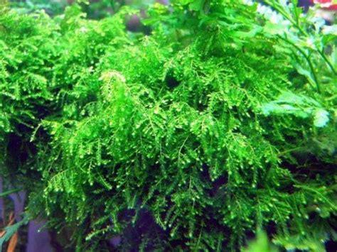 Semua Jenis Mos weeping moss aquajaya