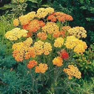 aiuole fiorite immagini 10 piante da aiuola fioriscono in primavera