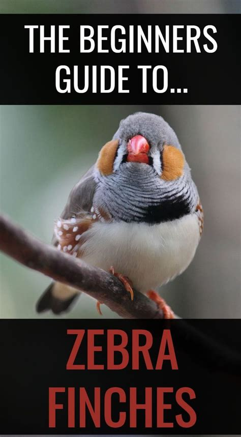 wondering how to keep zebra finches these stunning little