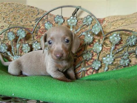 dachshund puppies for sale in ms miniature dachshund puppies for sale mississippi dogs our friends photo