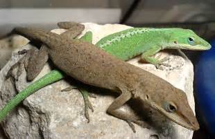 lizards that change color reptiles ectotherms and cold blood newton s apple org uk