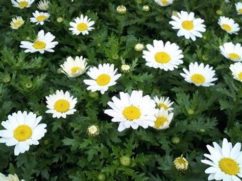Chrysanthemum chalet living colour plants