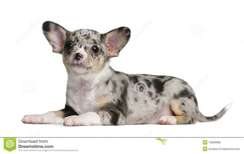 blue merle chihuahua puppies blue merle chihuahua puppy 8 weeks stock photo