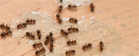 Ameisenplage Im Garten Bek Mpfen 2797 by Ameisen Bek 228 Mpfen Wie Ein Echter Profi Hagebau De