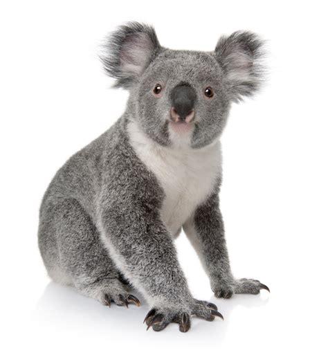 koala costume ehow