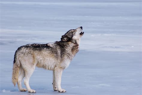 what is a wolf white wolf what is happening with america s gray wolves and how you can protect them
